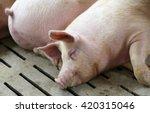Fat Asleep Pigs Sleeping In Pi...