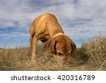 Hunting Dog Sniffing The Ground ...