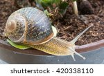 Snail Crawling On Plant Pot In...