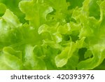 fresh green lettuce salad with...   Shutterstock . vector #420393976
