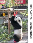 Small photo of CHIANG MAI THAILAND,08 FEBRUARY 2016:Chinese panda grabs Chinese traditional red packages to celebrate Chinese Lunar New Year in Chiang Mai, Thailand, 08 February 2016.