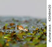 Small photo of African jacana chick looking for food on water lilies