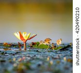 Small photo of African jacana looking for food on water lilies