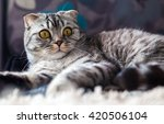 portrait of a cat on the bed of ... | Shutterstock . vector #420506104