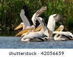 pelicans  pelecanus onocrotalus ... | Shutterstock . vector #42056659