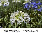 Small photo of SAO PAULO, SP, BRAZIL - NOVEMBER 14, 2015 - African lily, Agapanthus africanus, flower of the Agapanthaceae family originating in South Africa