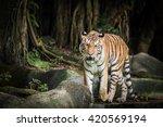 bengal tiger standing ... | Shutterstock . vector #420569194