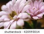 close up of blooming...   Shutterstock . vector #420593014