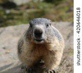 Small photo of Alpine Marmot at Swiss Alps. Europe
