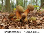 Small photo of Suillellus luridus (formerly Boletus luridus), commonly known as the lurid bolete with forest trees in the background