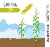 Garden. Sweet Corn. Plant...