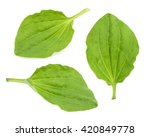 Plantain Leaves Isolated