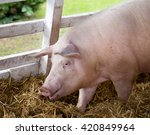 large white swine  yorkshire... | Shutterstock . vector #420849964