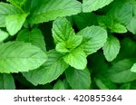 Mint Leaves.mint Leaves.mint...