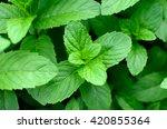 Mint Leaves.mint Leaves.mint...
