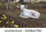 cattle   nelore calf on farm   Shutterstock . vector #420862780