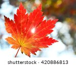 Red Maple Leaf  Golden Autumn ...