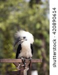 Small photo of Hornbill, White-crowned Hornbill ( Aceros comatus),bird of Thailand