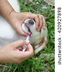 Small photo of small cute long hair white sick puppy laying on garden green grass floor with a female dog owner try to give anti-biotic medicine in the mouth with a small drugs injector , authentic scene situation