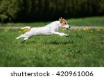 Stock photo happy jack russell terrier dog running outdoors in summer 420961006