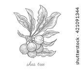 shea tree. vector plant...   Shutterstock .eps vector #421091344