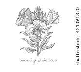 Evening Primrose Flower. Vecto...