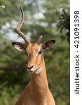 A Portrait Of A Male Impala ...