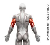 Triceps   Anatomy Muscles...