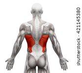 Latissimus Dorsi   Anatomy...