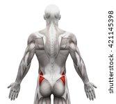 gluteus medius   anatomy... | Shutterstock . vector #421145398