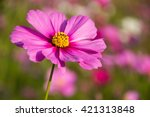 Cosmos Flower With Blurry...