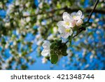 Flowering Apple Orchards
