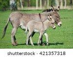Donkey  Equus Africanus Asinus...