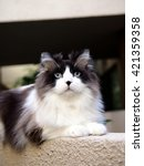 Small photo of Bi-Color Brown White Blue Eyed Ragdoll Cat with a black button nose and Long Whiskers Sitting on Ledge Looking Upwards