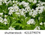 Sweet Woodruff  Galium Odoratu...