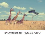 Group Giraffe In National Park...