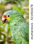 Small photo of Red-Lored Amazon parrot (Amazona autumnalis), Tikal, Guatemala