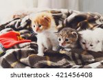 Stock photo kittens and mittens white red and grey newborn kittens in a plaid blanket sweet adorable tiny 421456408