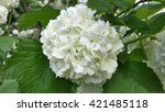 Big white balls blooming viburnum - stock photo