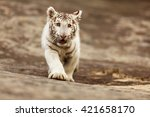 White Tiger Came Running Out O...