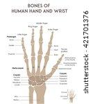 Bones Of Human Hand And Wrist....