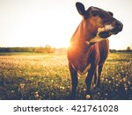 Stock photo happy single cow on a meadow during sunset 421761028