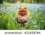 Pomeranian Dog On A Walk. Dog...