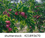 Plum Tree With Red Plums At...