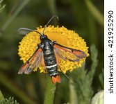 Small photo of Pyropteron chrysidiforme, the fiery clearwing, a moth of the Sesiidae family. It is found in Europe