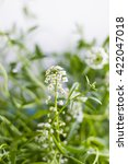 Small photo of White alyssum close up, flowers