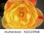 Small photo of Joseph's Coat Rose Beauty