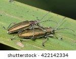 donacia simplex reed beetles... | Shutterstock . vector #422142334