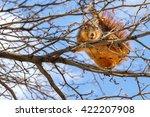 Fox Squirrel Eating Leaf Buds...
