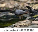 Small photo of Besra (Accipiter virgatus), bird of prey, is in water pool in the forest of Thailand.